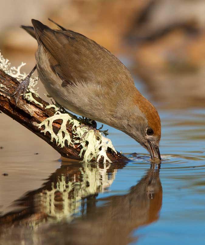 Fotografía de fauna, Capirotada bebiendo