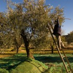 Recolección de olivas